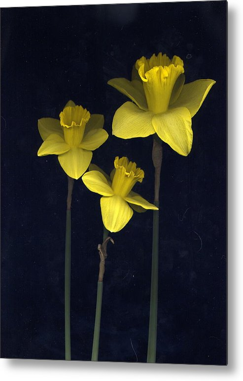 Nature Metal Print featuring the photograph Daffodilia II by William Thomas