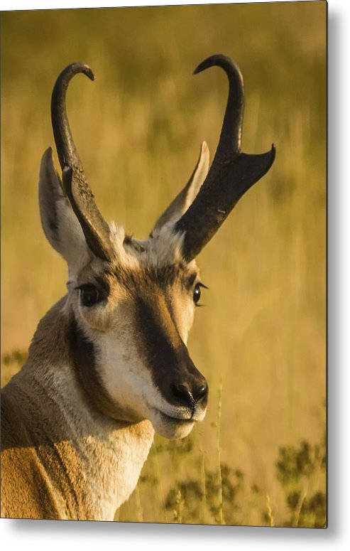 Antelope Metal Print featuring the photograph Handsome Is by Albert Seger