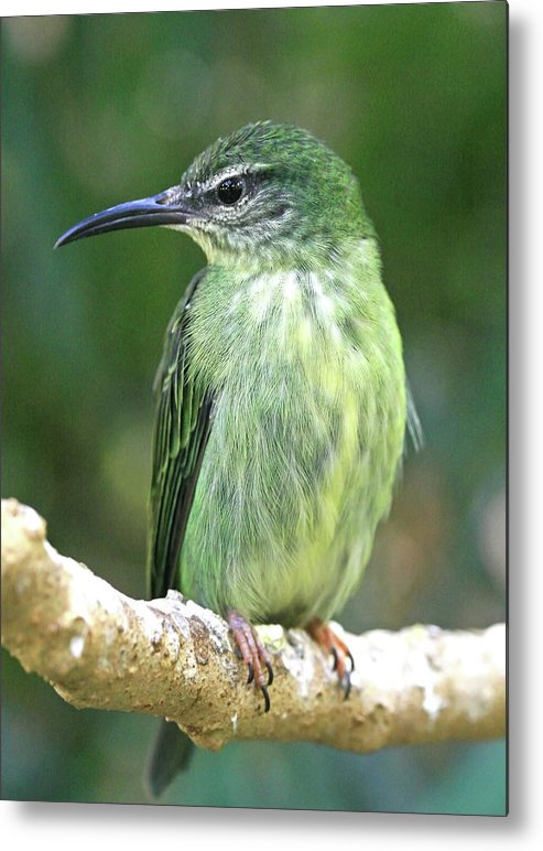 Bird Metal Print featuring the photograph Purple Honeycreeper Female by David Freuthal