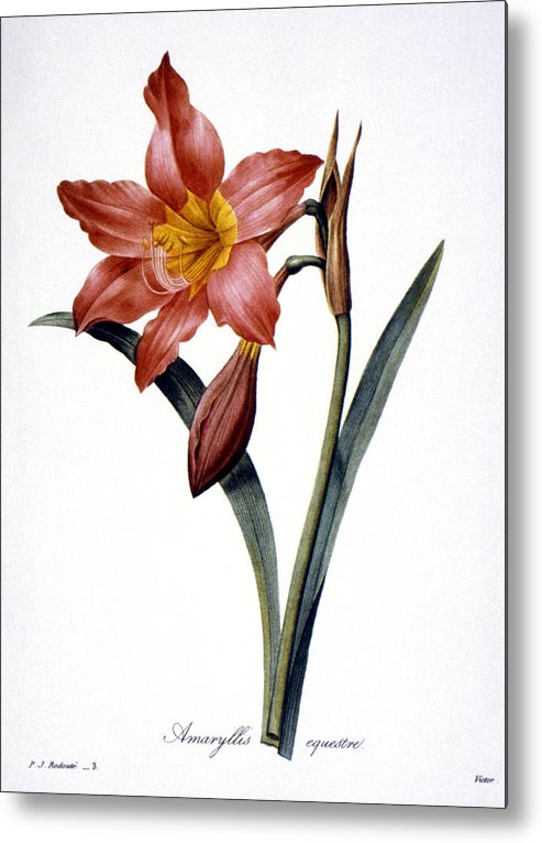 1833 Metal Print featuring the photograph Amaryllis by Granger