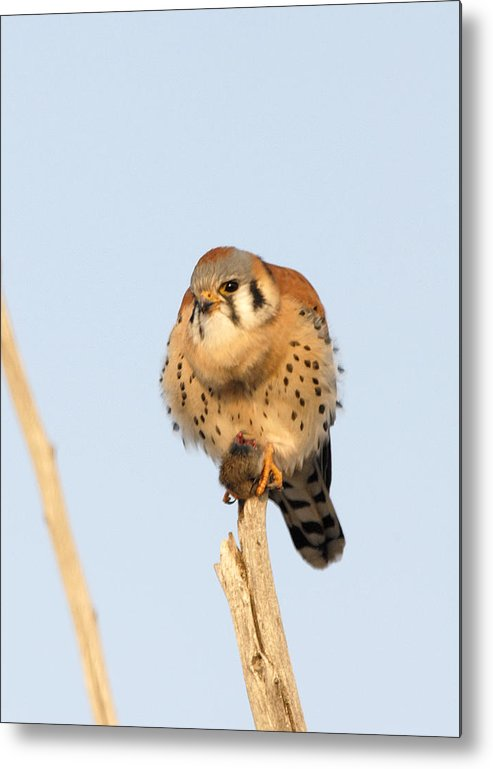 Bird Metal Print featuring the photograph American Kestrel With Vole by Dennis Hammer