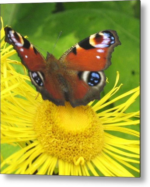 Yellow Metal Print featuring the photograph Yellow Daisy With Butterfly by Margaret Thomson