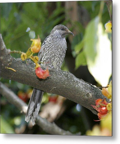 Bird Metal Print featuring the photograph Red Wattlebird by Masami Iida