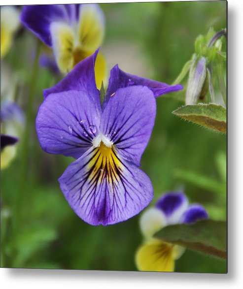 Viola Metal Print featuring the photograph Viola by Betty Maxey