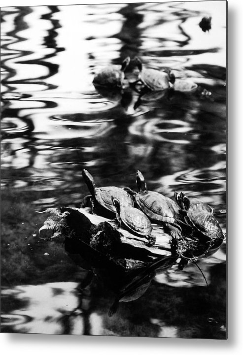 Turtles Metal Print featuring the photograph Sun Worshippers by Allan McConnell