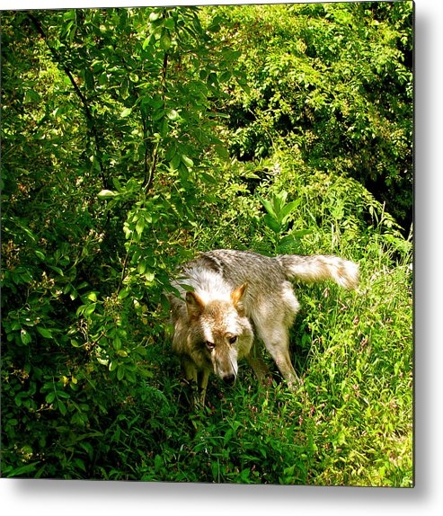 I Got To Get The Hair Off Metal Print featuring the photograph The Wild Wolve Group B by Debra   Vatalaro