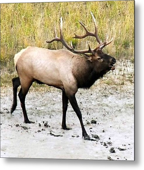 Elk Metal Print featuring the photograph Bull Elk by Tiffany Vest