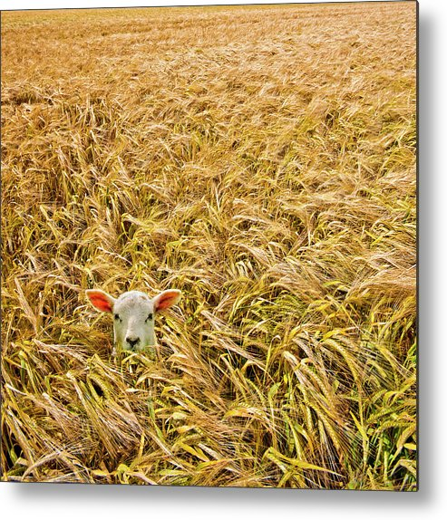 Sheep Metal Print featuring the photograph Lamb With Barley by Meirion Matthias