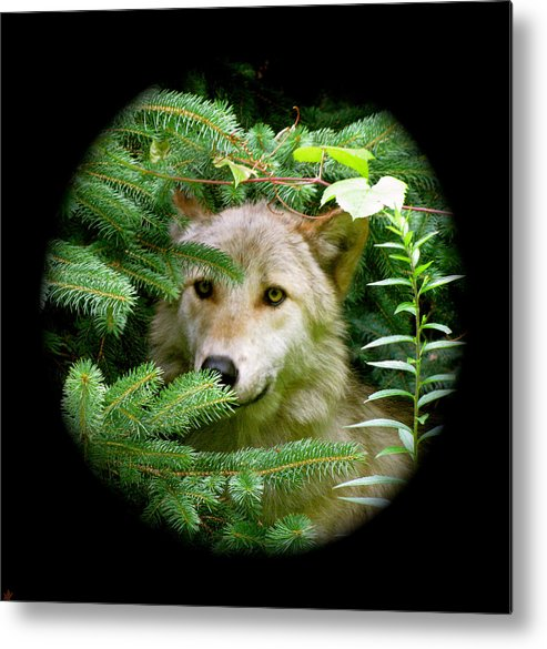 Wolf Thick In The Woods Metal Print featuring the photograph Wolf Thick Of The Woods by Debra   Vatalaro