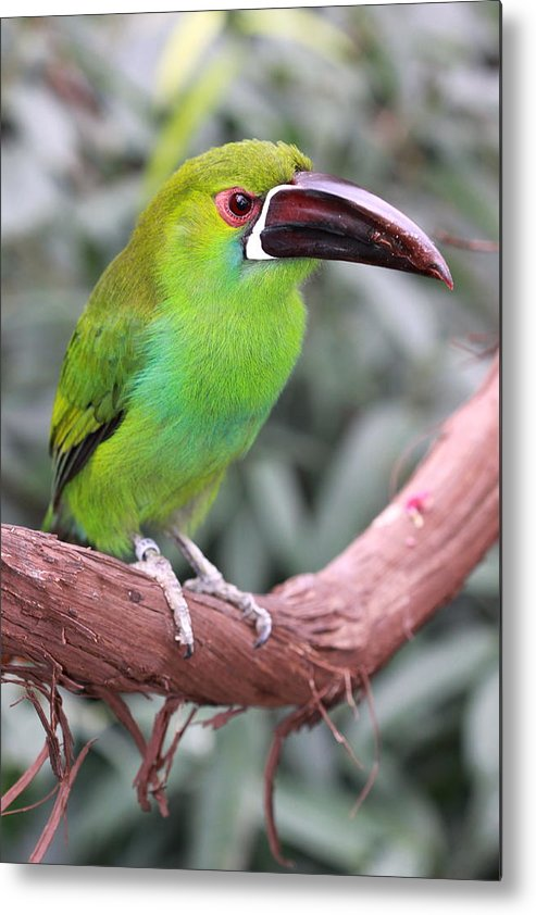 Bird Metal Print featuring the photograph Jungle Swing by Paul Slebodnick