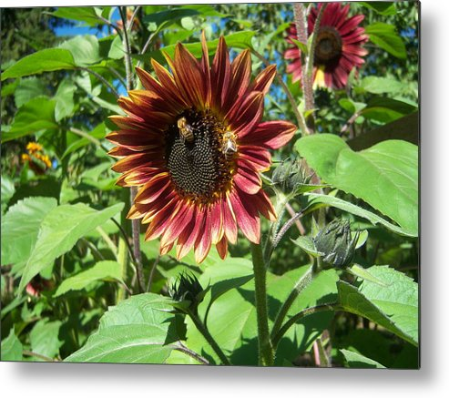 Sun Metal Print featuring the photograph Sunflower 133 by Ken Day