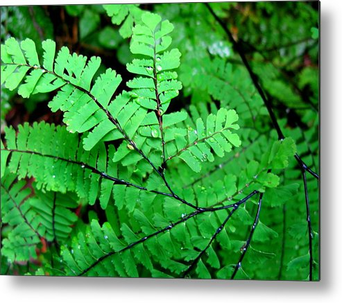 Maiden Hair Fern Metal Print featuring the photograph A Maiden's Crown by PJ Cloud