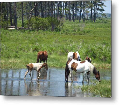 Chincoteague Metal Print featuring the painting Adventure by Kim