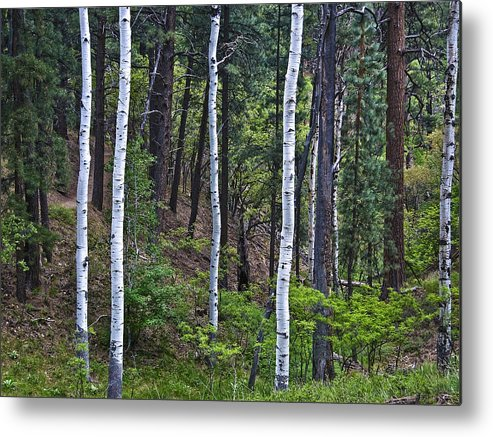 Aspens Metal Print featuring the photograph Aspens In The Woods by Neil Doren