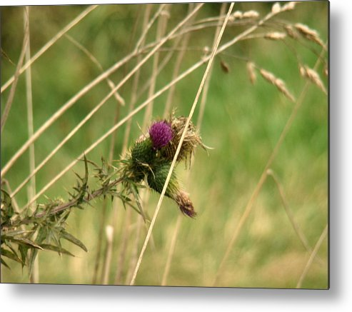 Photograph Metal Print featuring the pyrography Autumn Thistle by Tingy Wende