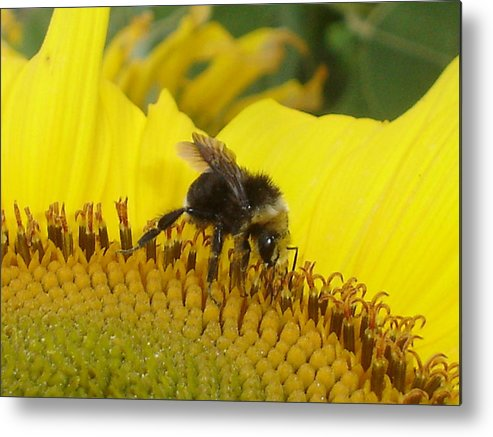 Bee's Metal Print featuring the photograph Bee On Sunflower 2 by Chandelle Hazen