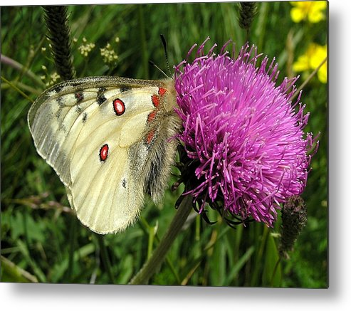 Butterfly Metal Print featuring the photograph Blancarosa by Jean-Michel Ammon