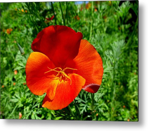Red Poppy Metal Print featuring the photograph Bold Beauty by PJ Cloud