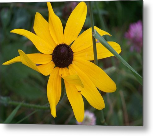 Yellow Flower Metal Print featuring the photograph Brown Eyed Susan by Donna Davis