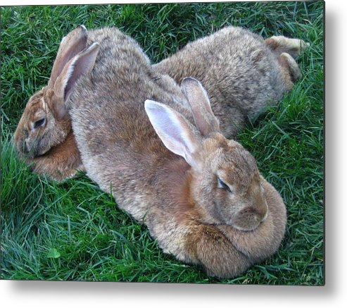 Rabbit Metal Print featuring the photograph Brown Rabbits by Melissa Parks