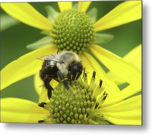 Bumblebee Metal Print featuring the photograph Bumblebee by Tina B Hamilton