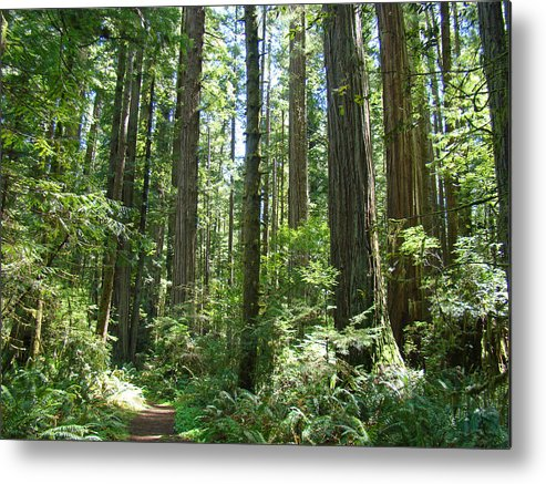Redwood Metal Print featuring the photograph California Redwood Trees Forest Art Prints by Baslee Troutman
