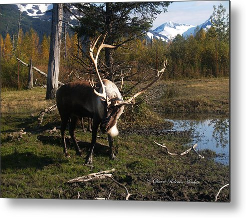 Caribou Metal Print featuring the photograph Caribou In Autumn by Dianne Roberson