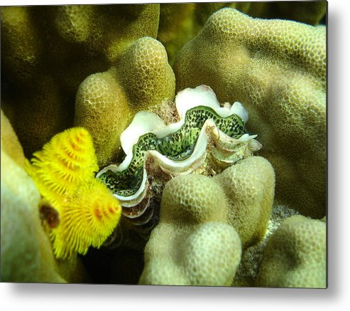 Underwater Metal Print featuring the photograph Clam On The Reef by Chad Natti
