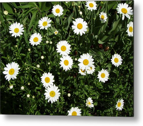 Daisy Metal Print featuring the photograph Daisy 2011 May 21 by Tim Donovan
