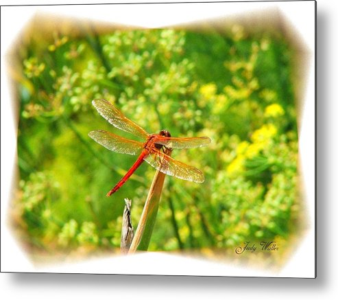 Dragon Fly Metal Print featuring the photograph Dragon Fly by Judy Waller