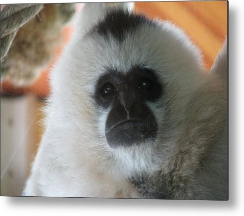 Ape Metal Print featuring the photograph For The Love Of Monkeys by Hannah Eby