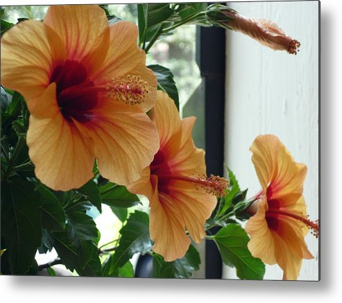 Photography Flower Floral Bloom Hibiscus Peach Metal Print featuring the photograph Friends For A Day by Karin Dawn Kelshall- Best