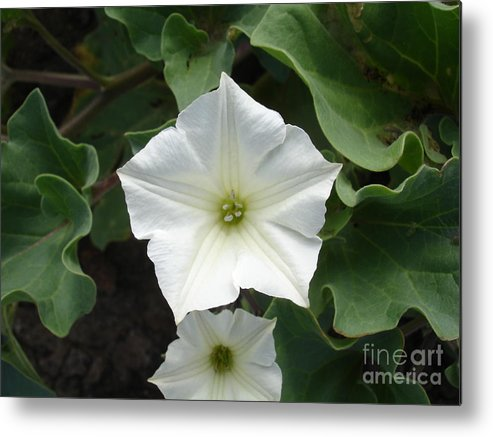Flower Metal Print featuring the photograph Galapagos Flower by Chad Natti