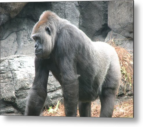 Gorilla Metal Print featuring the photograph Gentle Giant by Stacey May