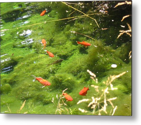 Goldfish Metal Print featuring the photograph Goldfish In A Pond by Melissa Parks