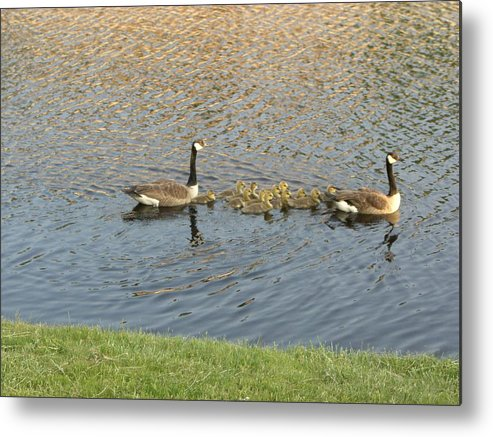 Geese Metal Print featuring the photograph Goose Pond 1 by Nancy Ferrier
