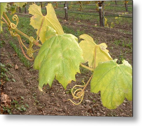 Grape Metal Print featuring the photograph Grape Leaves At Fess Parker by PJ Cloud