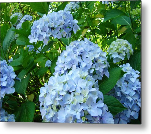 Nature Metal Print featuring the photograph Green Nature Landscape Art Prints Blue Hydrangeas Flowers by Baslee Troutman