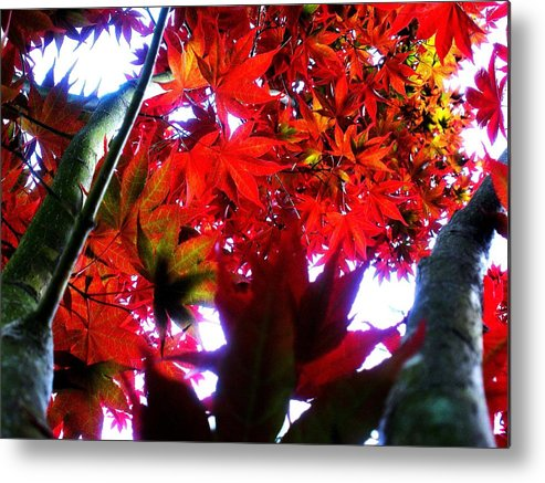 Japanese Metal Print featuring the photograph Japanese Maple by Alex Santos