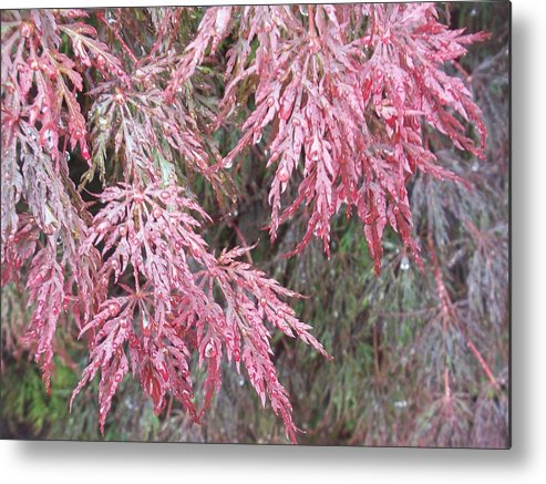 Maple Tree Metal Print featuring the photograph Japanese Maple In The Rain by Ellen B Pate