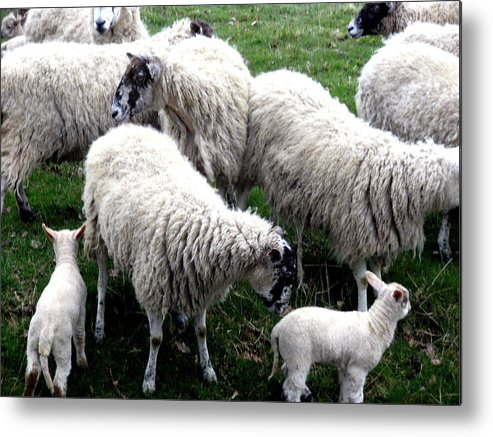 London Metal Print featuring the photograph Lambs And Sheep by Mindy Newman
