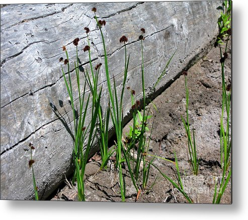 Blooming Grass Metal Print featuring the photograph Lightest Touch by PJ Cloud