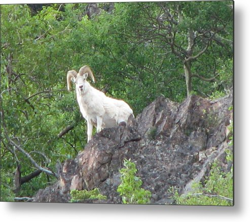 Mountain Goat Metal Print featuring the photograph Looking Down by April Camenisch