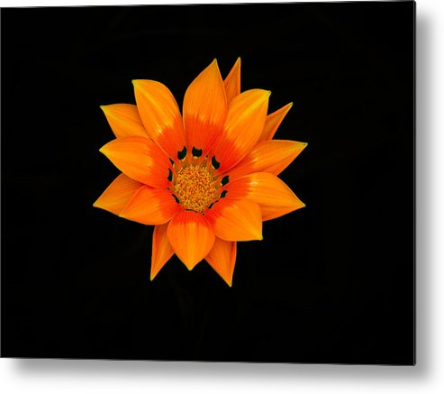Daisy Metal Print featuring the photograph Orange Daisy by Karen Lewis