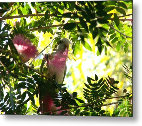 Quaker Parrot Metal Print featuring the photograph Quaker Parrot With Mimosa Flower by Theresa Willingham