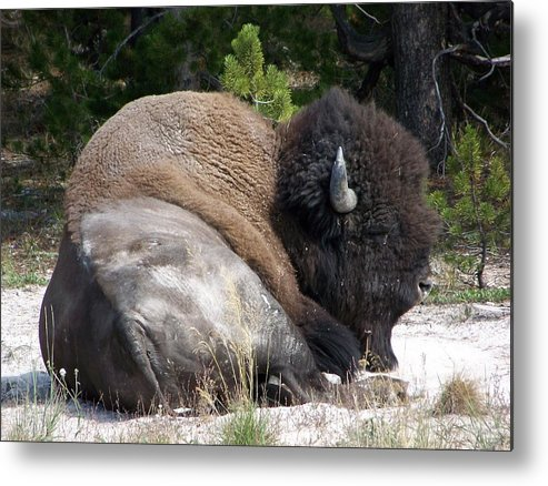 Buffalo Metal Print featuring the photograph Resting Buffalo by Pam Mejia