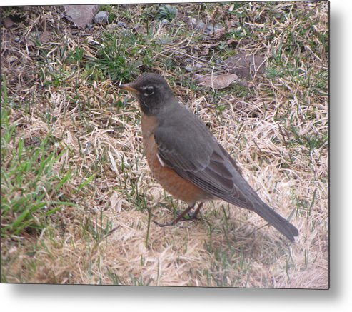 Robin Metal Print featuring the photograph Robin by Melissa Parks