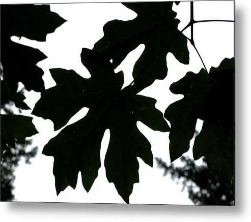 Tree Metal Print featuring the photograph Silhouetted Maple by PJ Cloud