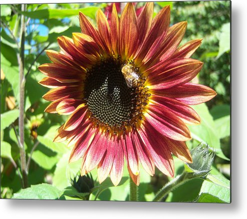 Sun Metal Print featuring the photograph Sunflower 108 by Ken Day