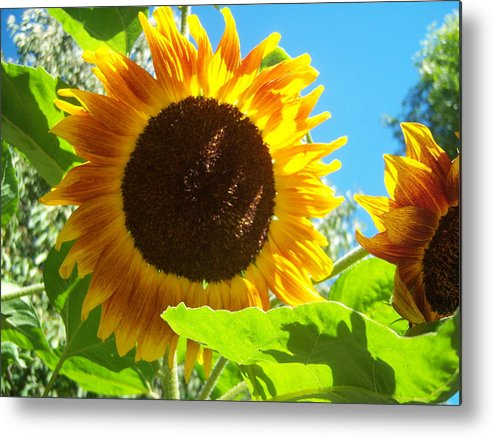 Sun Metal Print featuring the photograph Sunflower 117 by Ken Day